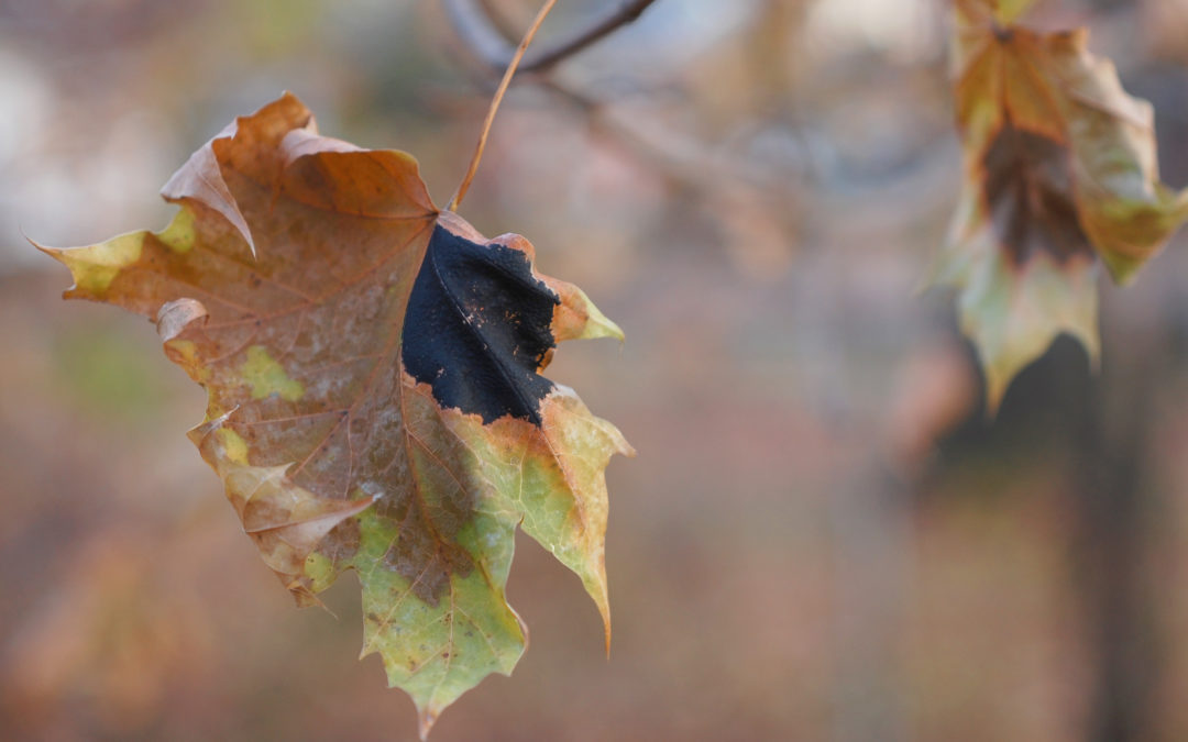Fungal Disease in Maple Trees
